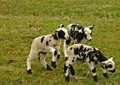 image of baby sheep  - group of three small black and white lambs playing together - JPG