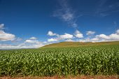 foto of maize  - Farming field green growing maize corn crops on a rural mountain landscape - JPG
