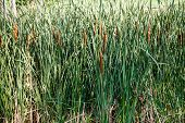 Cattails In Green Rushes