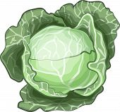 Cabbage isolated on white.