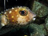 Porcupinefish portrait