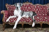 pic of great dane  - big great dane resting on couch in studio - JPG