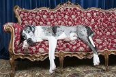 foto of great dane  - big great dane resting on couch in studio - JPG