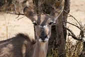 image of bosveld  - Kudu Cow with Ears Pinned Backward under a Bushvelt Tree - JPG