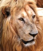 image of african animals  - African Male Lion in african animal park - JPG