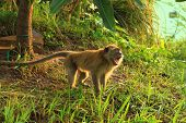 Long tail monkey