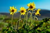 Mountain Arnica Blossoms.