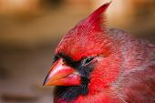 foto of cardinal  - Male cardinal seen up close outdoors in Texas - JPG