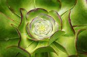 Stone Flowers - Sempervivum