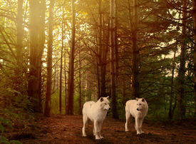 image of white wolf  - two beautiful grey wolves in a forest - JPG