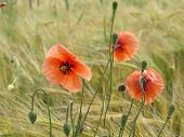 Barley field with corn poppy