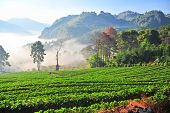The Sea Of Fog With Strawberry As Foreground. This Place Is In Doi Angkhang Mountain, Chiangmai Thai