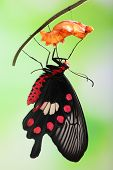 foto of chrysalis  - amazing moment about butterfly change form chrysalis  - JPG