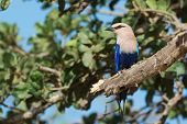 A Blue-bellied Roller (coracias Cyanogaster) Perched On A Broken Fig Tree Branch