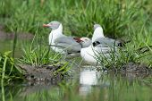 Grey-headed Gulls (larus Cirrocephalus) Stopping For A Drink In A Pond