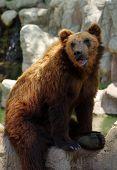 bear Kamchatka