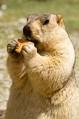 stock photo of marmot  - Funny marmot with bisquit on the meadow (Ladakh India)