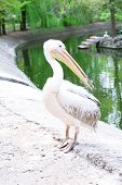 Great White Pelican in zoo