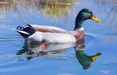 Mallard swimming in a pond