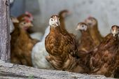 foto of hen house  - Chicken looks through hen house open door with other chickens - JPG