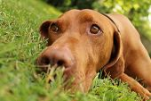 foto of hungarian  - Hungarian pointer in the  nature at summer - JPG