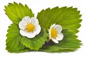 Strawberry Flowers And Leaves Isolated.