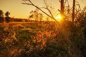 Sunset Behind Blackberry Bushes