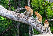 Family Of Proboscis Monkeys In A Tree