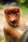 Proboscis Monkey Smiling For The Camera