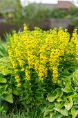 Lysimachia Flowers In Garden