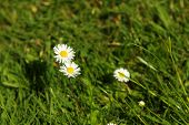 Blooming Daisies In The Grass