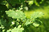 The Green Oak Leaves