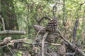 Pine Cones In The Pinewood Forest Near Marina Romea