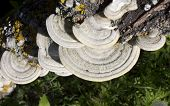 image of bracket-fungus  - This beautiful bracket fungus destroys the tree - JPG