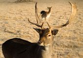 Beautiful Engaged Wildlife Young Male Buck Elk Antlers Horns
