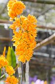Orange Dendrobium Orchid flower
