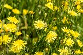 picture of humility  - Closeup of hieracium humile in a meadow under the spring sun - JPG