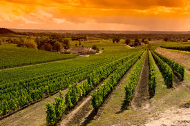 pic of paysage  - Vineyard Sunrise - JPG