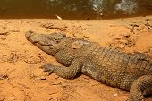 Crocodile In The Nature At The Forest