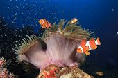 Clownfish Anemonefish on underwater coral reef