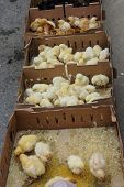 image of baby chick  - Baby chicks huddle together in the weekly Canakkale market Turkey - JPG