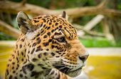 picture of ocelot  - closeup portrait of a beautiful jaguar outdoors - JPG