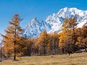Larch trees and the snowy peaks of Mont Blanc in fall - Courmayer, Val d'Aosta, Italy, Europe.