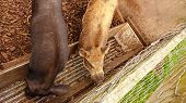 foto of farrow  - Wild boar eating in the pen in autumn morning - JPG