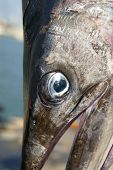 Mediterranean Spearfish Billfish Head Tetrapturus Belone Marlin