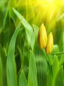 Flowers  Tulips  Yellow  Petals
