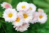 Rain Soaked Chrysanthemum