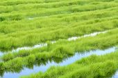 stock photo of marsh grass  - Green grass growing on a marsh land - JPG