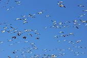 Snow Geese And Sky