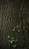 picture of ivy vine  - Ivy vine climbing over the bark of a tree - JPG